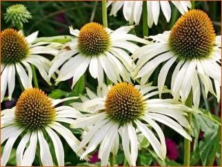 Tuinplanten | Vaste planten | Echinacea